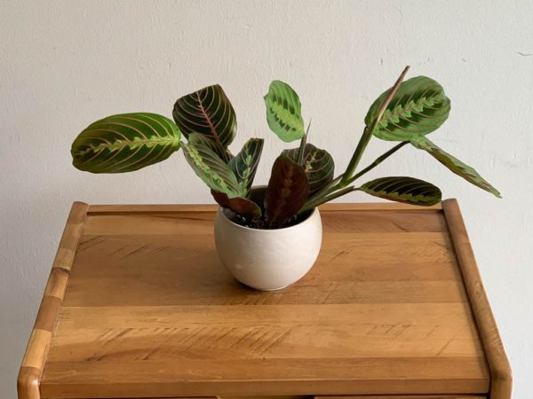 Maranta (praying hands plant)