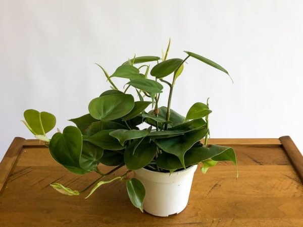 Cordatum Philodendron, philodendron, heartleaf ivy, philo vine